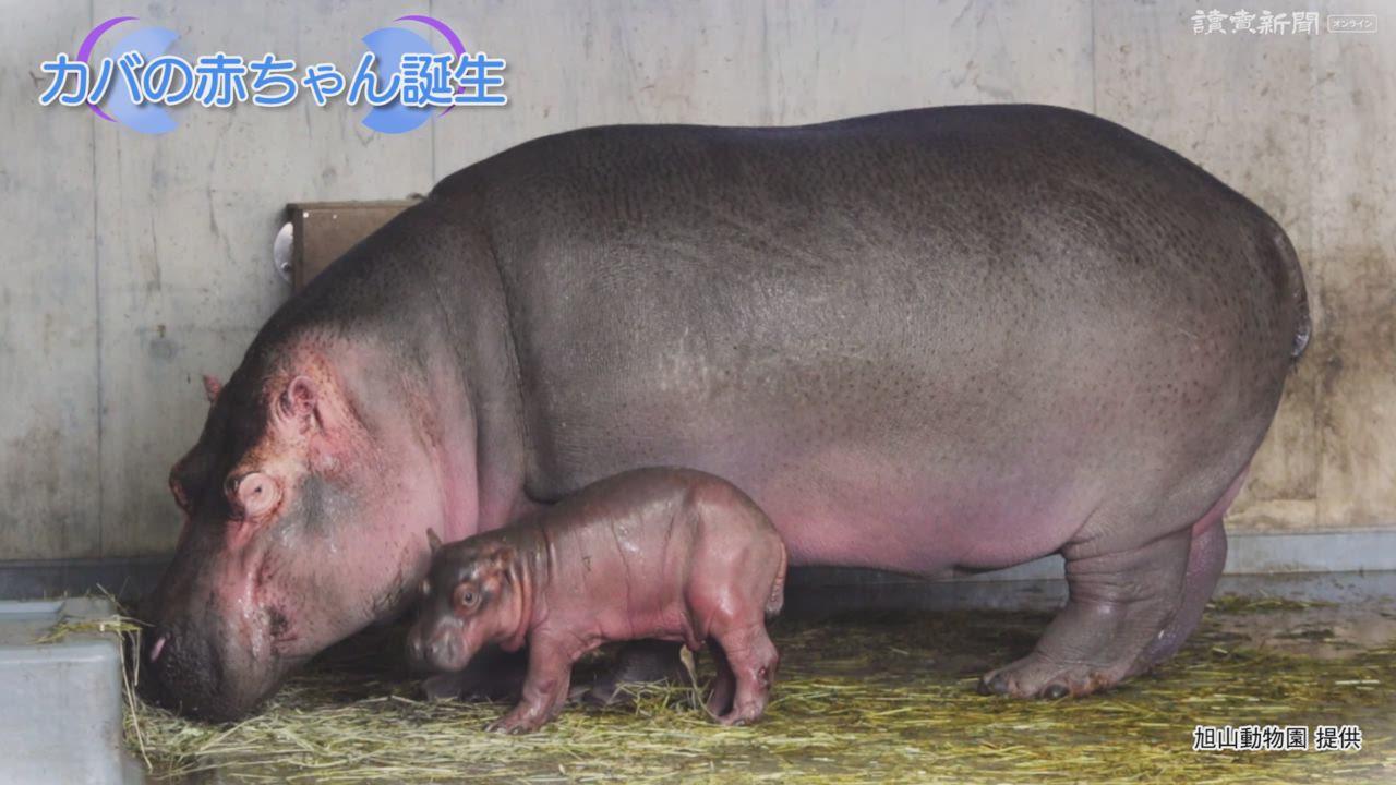 旭山 動物園 カバ の 赤ちゃん