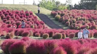 コキア紅葉みごろ・・・香川